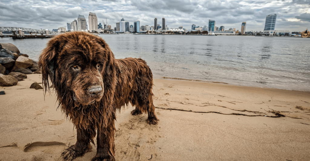 Dog at a beach in san Diego